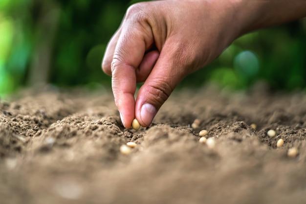 Hand die sojazaad in de moestuin planten. landbouw concept Premium Foto