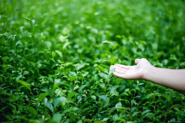 Handen en groene theeblaadjes die van nature mooi groen zijn Premium Foto