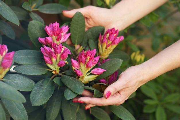 Handen knuffelen rododendron bush Premium Foto