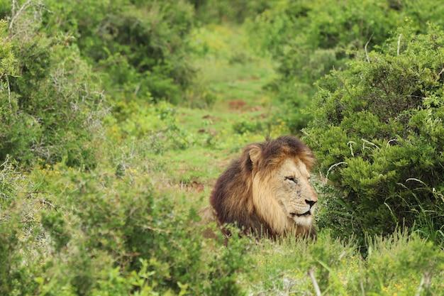 Harige leeuw die overdag in het addo elephant national park loopt Gratis Foto