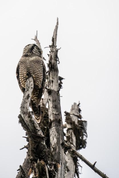 Hawk owl staande op een boom onder een bewolkte hemel in het revelstoke national park. canada Gratis Foto
