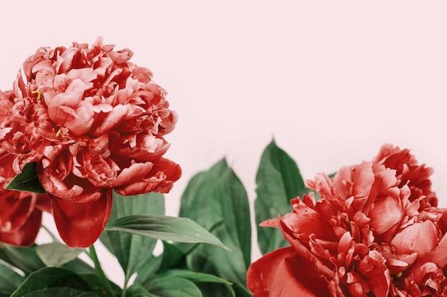 Helder bloeiende bloemen van pioenrozen. Premium Foto