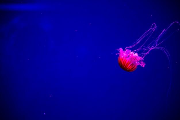 Heldere transparante neonkwallen in het aquarium Premium Foto