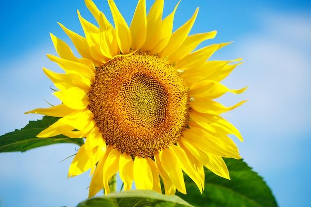 Heldergele zonnebloem tegen een blauwe hemel met wolken Gratis Foto