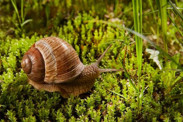 Helix pomatia is ook een romeinse of druivenslak, een bourgondische slak in de natuur in groen mos. eetbare slak van de familie helicidae. Premium Foto