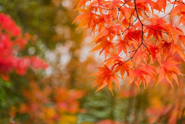 Herfst esdoorn bladeren achtergrond Premium Foto