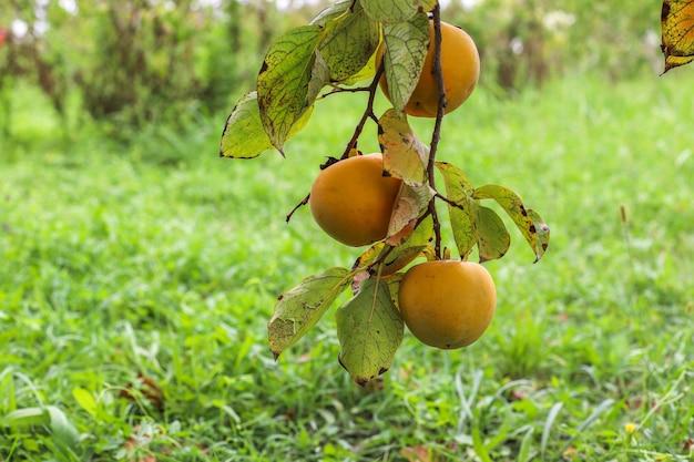 Herfst fruit opknoping op een boomtak in de tuin. Gratis Foto