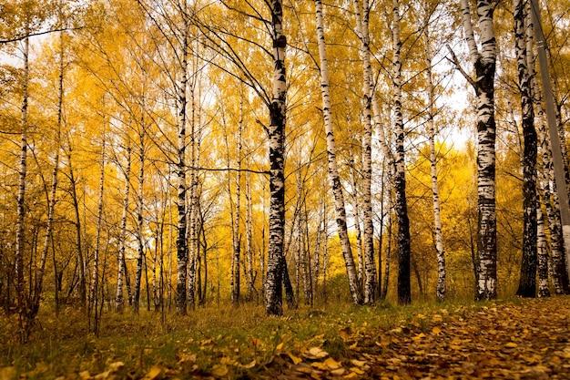 Herfst landschap met berkenbomen in het bos Premium Foto