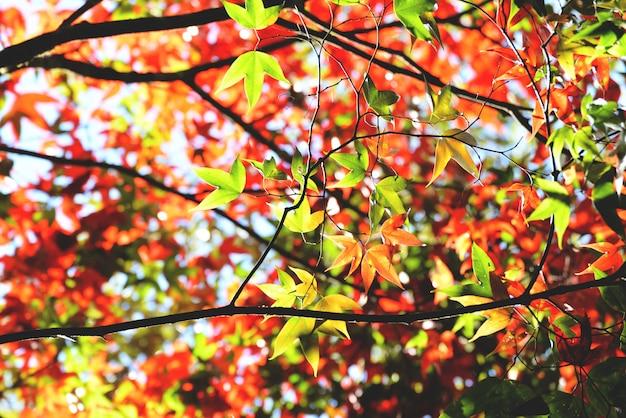 Herfst van het de boom de kleurrijke seizoen van de esdoorn in het bos met groene en rode esdoornbladeren Premium Foto