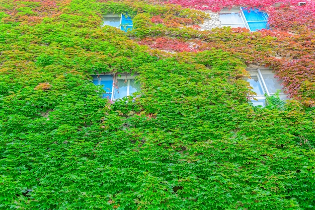 Herfstklimplant op gebouw in hokkaido, Premium Foto