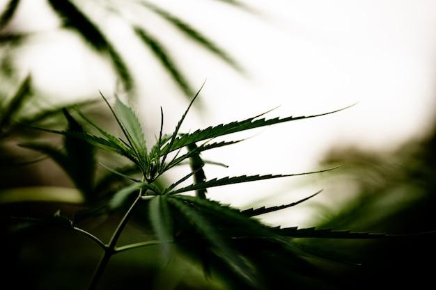 Het bladclose-up van de cannabismarihuana Gratis Foto