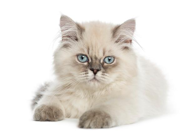 Het britse longhair-katje liggen, die de camera bekijken Premium Foto