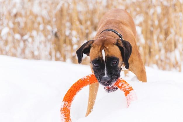 Het bruine pedigreed hond spelen met oranje cirkelstuk speelgoed op het sneeuwgebied. bokser Premium Foto