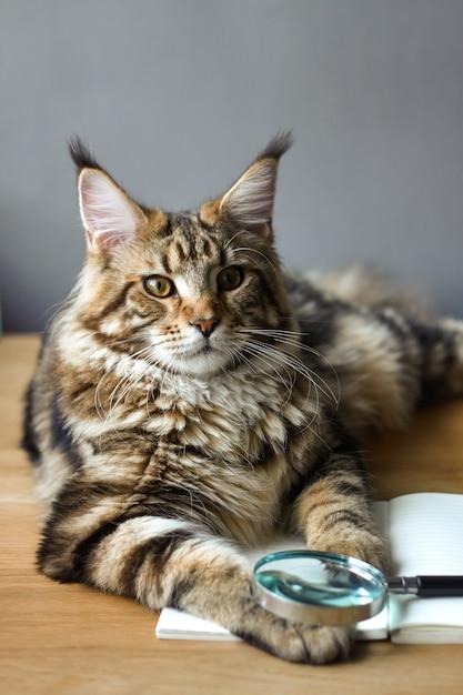 Het close-upportret van maine coon-kat ligt op een houten lijst aangaande een open notitieboekje en een vergrootglas Premium Foto