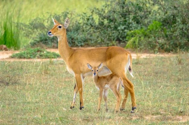 Het close-upschot van een babyhert die zich dichtbij zijn moederverstand bevinden vertroebelde natuurlijke achtergrond Gratis Foto