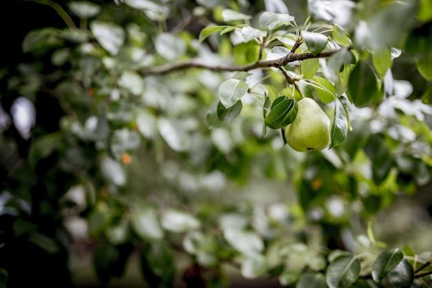 Het close-upschot van een groene peer maakte aan een tak met een vage achtergrond vast Gratis Foto