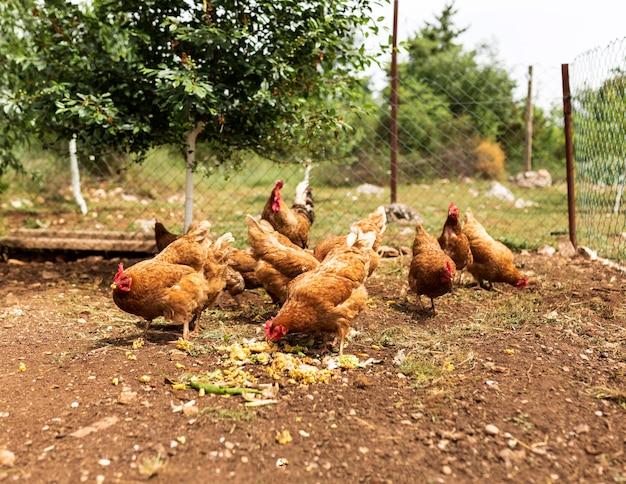 Het concept van het landbouwbedrijfleven met kippen het eten Premium Foto
