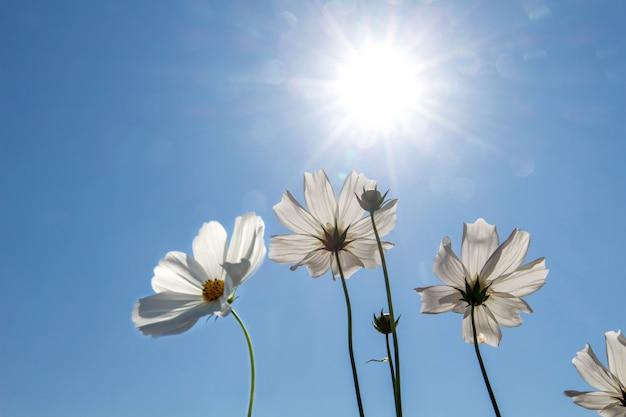 Het gebied van de kosmosbloem met blauwe hemel, het gebieds bloeiende lente van de kosmosbloem bloeit seizoen Premium Foto