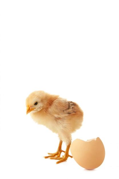 Het gele kleine kuiken met ei dat op een witte achtergrond wordt geïsoleerd Premium Foto