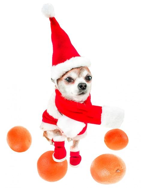 Het glimlachen van hondchihuahua in het kostuum van de kerstman met sinaasappelen die op wit worden geïsoleerd. Premium Foto