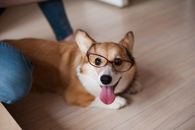 Het grappige welse puppy van corgi pembroke met glazenhuis, gelukkige het glimlachen hond Premium Foto