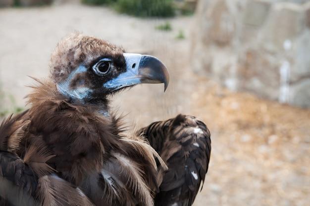 Het hoofd van cinereous gier, de zwarte gier, monniksgier of euraziatische zwarte gier Premium Foto