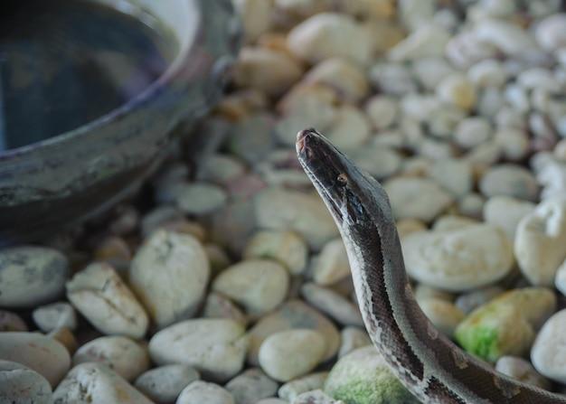 Het hoofd van een python. slangenboerderij in thailand Premium Foto