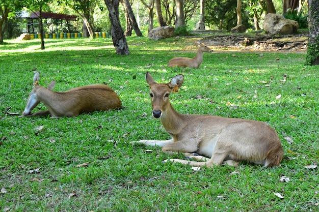 Het jonge hert op het grasveld Premium Foto