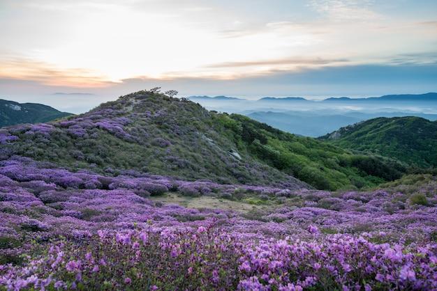 Het koninklijke azalea-festival op de berg hwangmasan Premium Foto