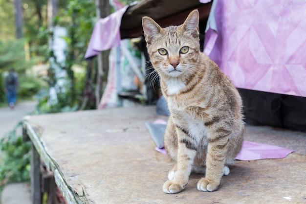 Het leuke thaise kat gele eyed liggen op houten lijst bekijkt camera. Premium Foto