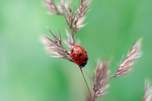 Het lieveheersbeestje zit op droog gras in de zomer. Premium Foto