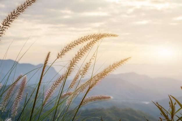 Het mooie gras bloeit gebied met zonlicht in de hemel voor de herfst en de zomerachtergrond, grasgebied in de avond Premium Foto