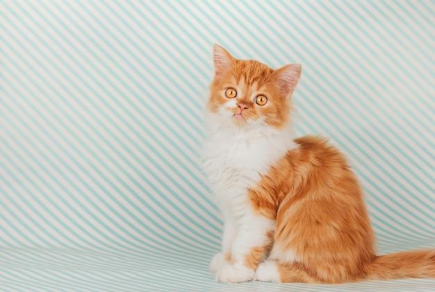 Het pluizige gemberkatje zit op een blauwe gestreepte achtergrond Premium Foto