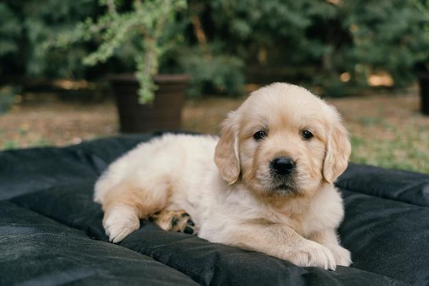 Het portret dat van het golden retrieverpuppy in bed in de tuin legt Premium Foto