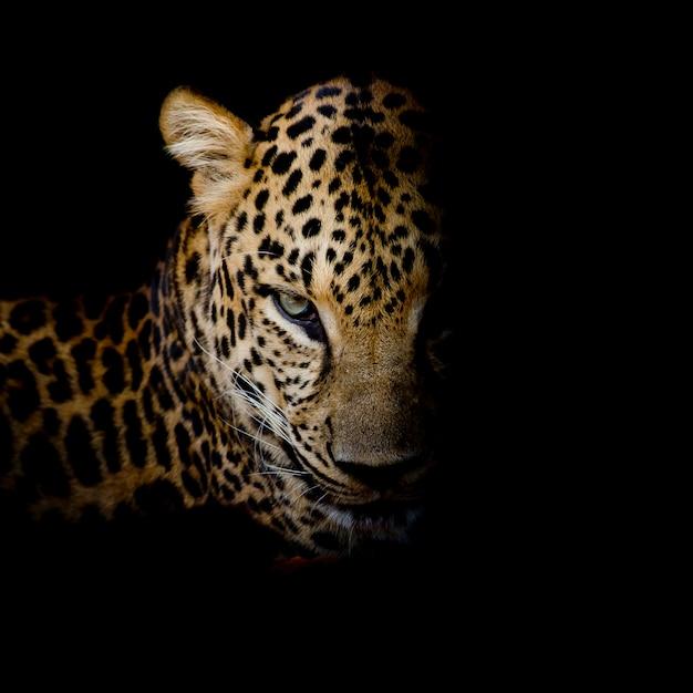 Het portret van de luipaard isoleert op zwarte achtergrond Premium Foto