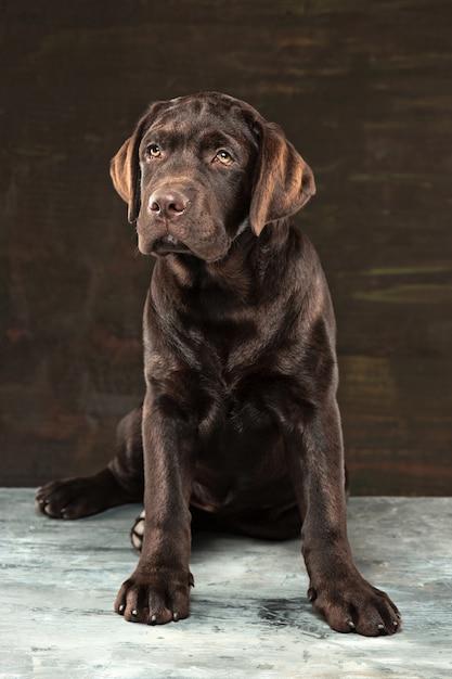 Het portret van een zwarte labrador hond genomen tegen een donkere achtergrond. Gratis Foto