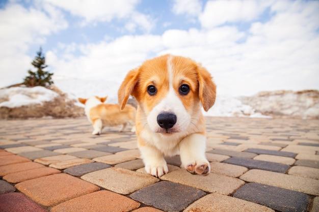 Het puppy van grappige rode welse corgi pembroke loopt openlucht, loopt, hebbend pret in wit sneeuwpark, de winterbos. Premium Foto