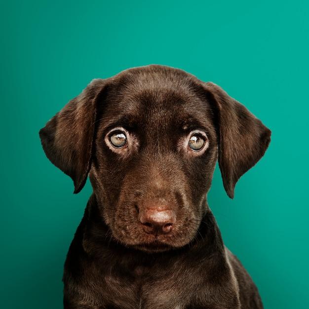 Het schattige portret van de chocoladelabrador Gratis Foto
