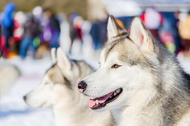 Het siberische schor portret van het hond dichte omhoog openluchtgezicht Premium Foto