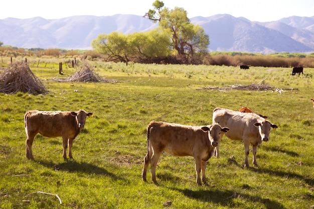 Het vee van koeien dat in de weiden van californië weidt Premium Foto