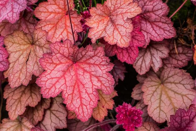 Heuchera. saxifragaceae familie. detailopname. macro. gesneden heldere bladeren van heuchera in een tuin. Gratis Foto