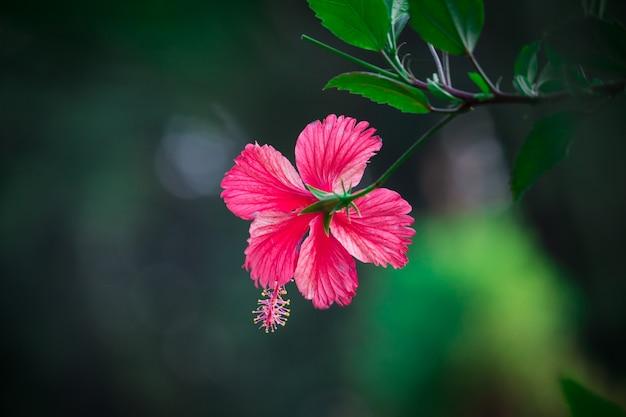 Hibiscus Premium Foto