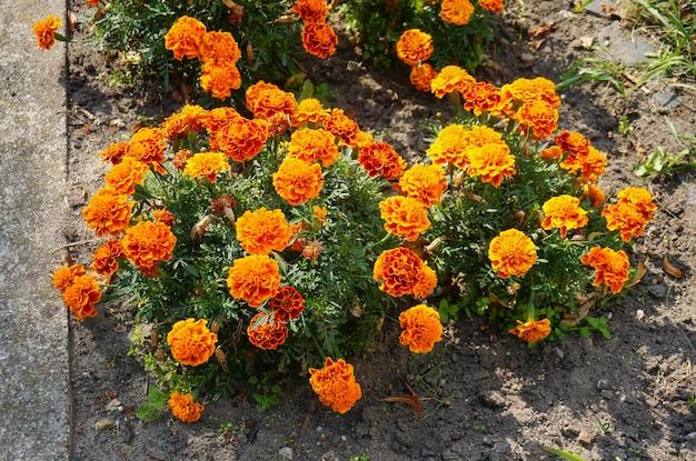 Hoge hoek close-up shot van oranje mexicaanse goudsbloem bloemen in struiken in de buurt van een straat Gratis Foto