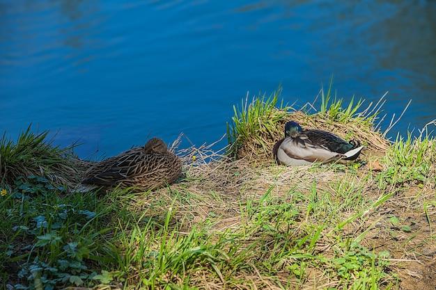 Hoge hoek die van twee eenden is ontsproten die aan de oever van het blauwe meer zitten Gratis Foto