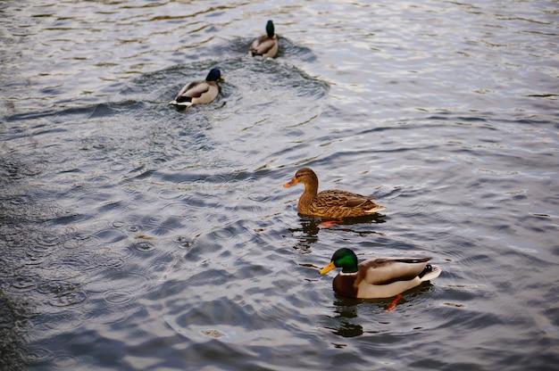 Hoge hoek schot van de schattige eenden zwemmen in het meer Gratis Foto