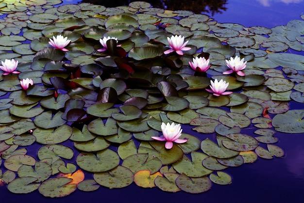 Hoge hoek shot van mooie roze waterlelies groeien in het meer Gratis Foto