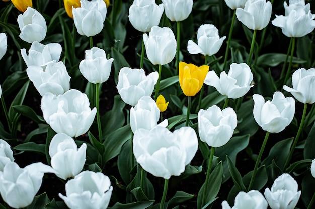 Hoge hoek shot van witte tulpen bloeien in een veld Gratis Foto