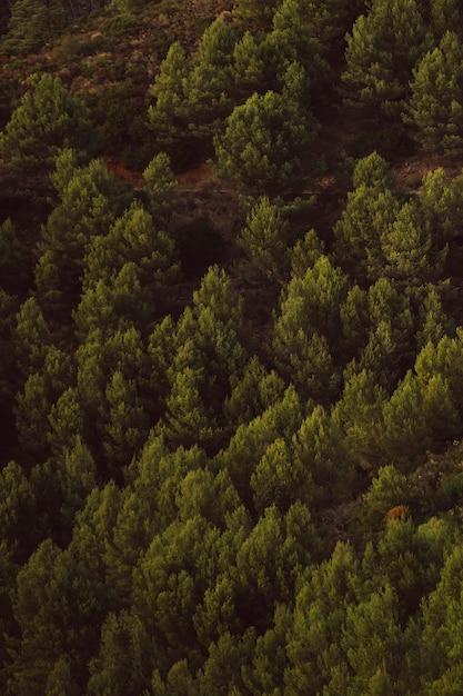 Hoge mening die van altijdgroene bomenachtergrond is ontsproten Gratis Foto