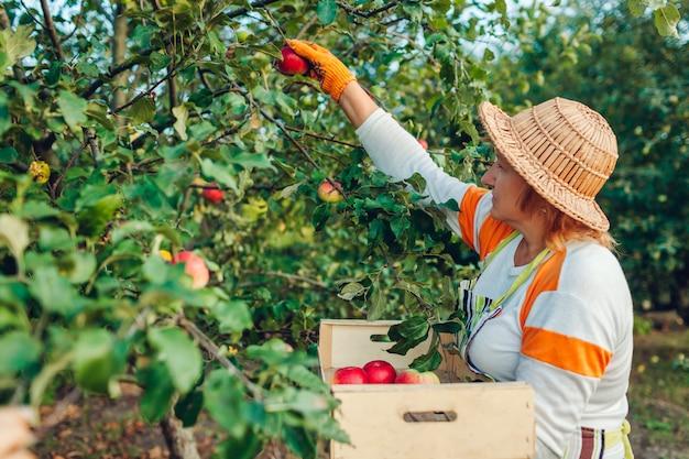 Hogere vrouw die rijpe organische appelen in de zomerboomgaard verzamelt Premium Foto