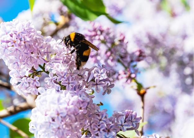 Hommel op lila bloemen. lente aard achtergrond Premium Foto